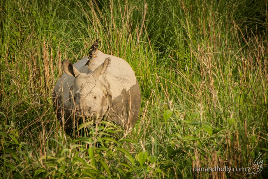 POTW: Northern White Rhino