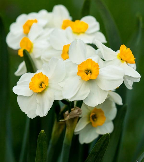 POTW: Paper whites in bloom