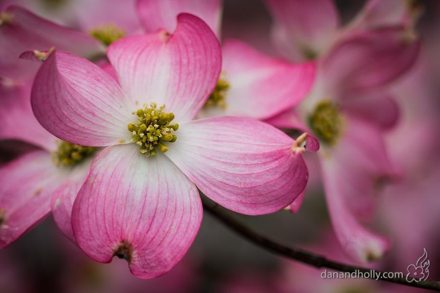 POTW: The Pink Dogwoods