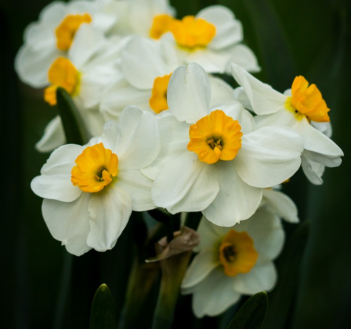 POTW: Paperwhites for my Wall