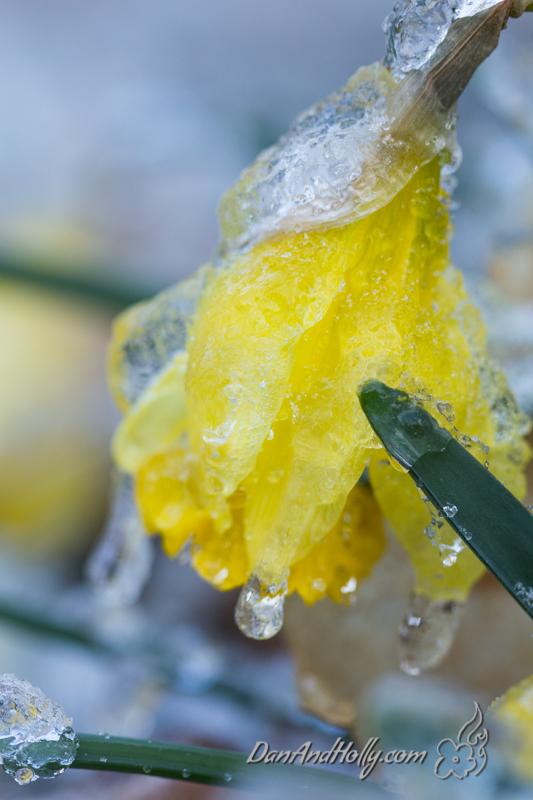Icy Daffodils