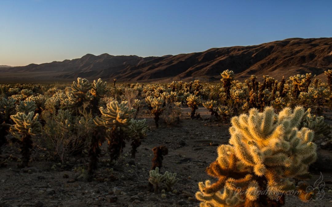 Cholla Cactus Garden at Sunrise