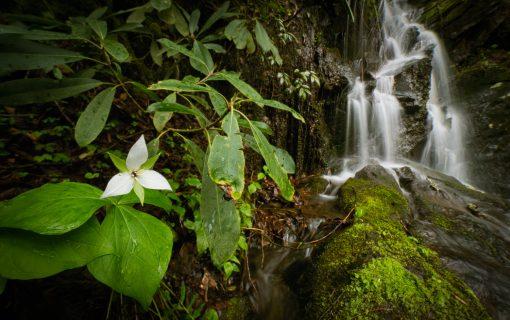 Trillium by the Falls