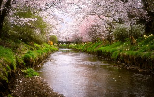 The Sakura Stream
