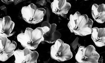 POTW: Washington Tulips