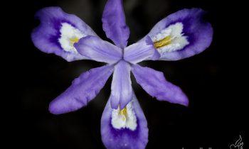 POTW: The Dwarf Iris