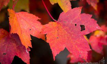 POTW: Maple leaves in Autumn