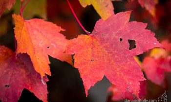 POTW: Maple leaves in Autumn