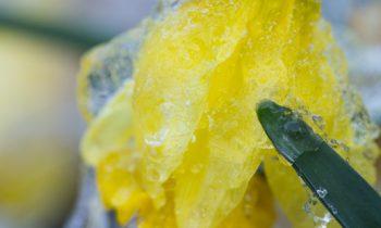 POTW: Frozen Daffodils