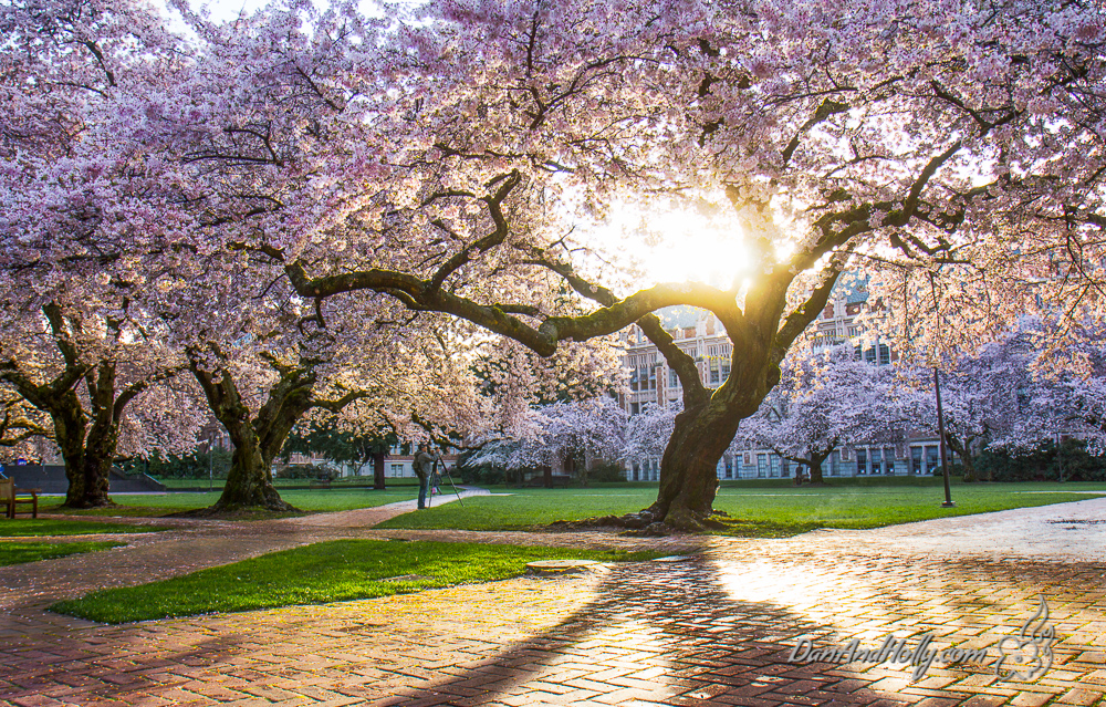 Potw University Of Washington Cherry Blossoms