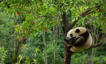 Panda Paradise