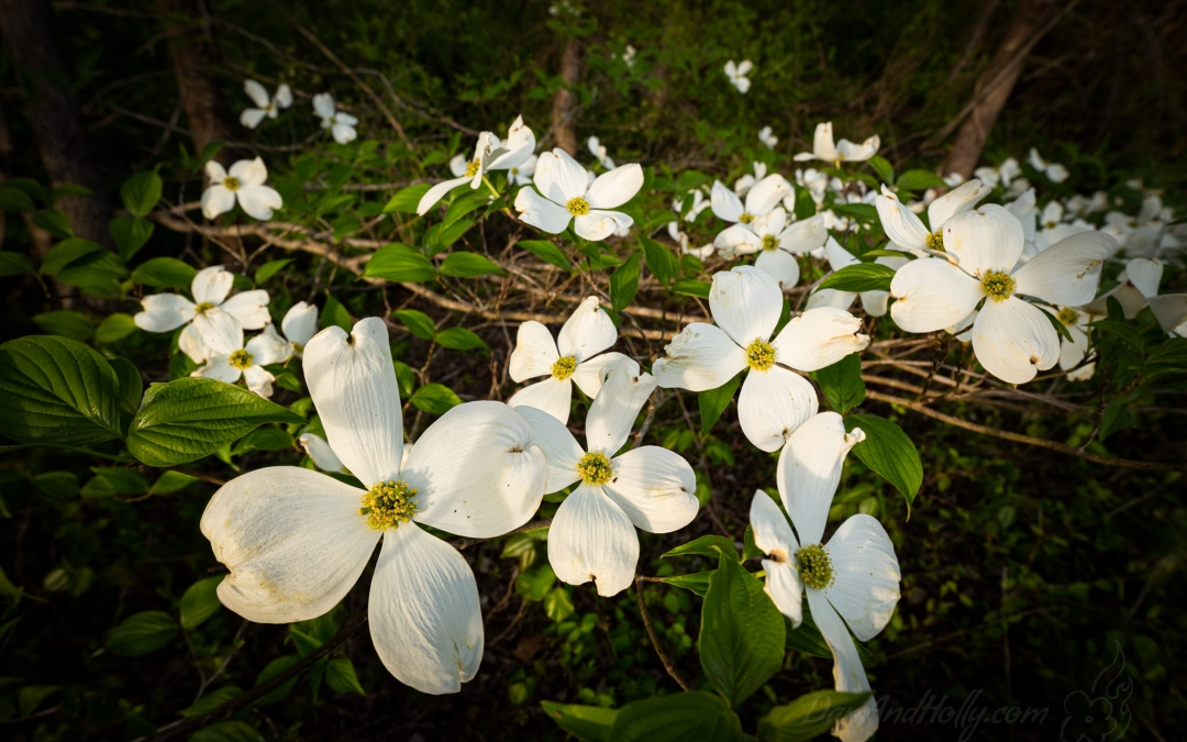 Dogwoods from the Farm