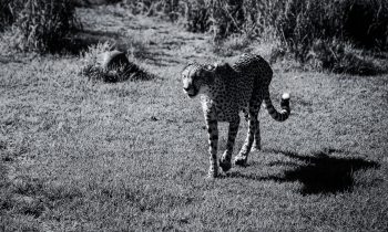 Meeting the Cheetahs at Ashia Cheetah Sanctuary