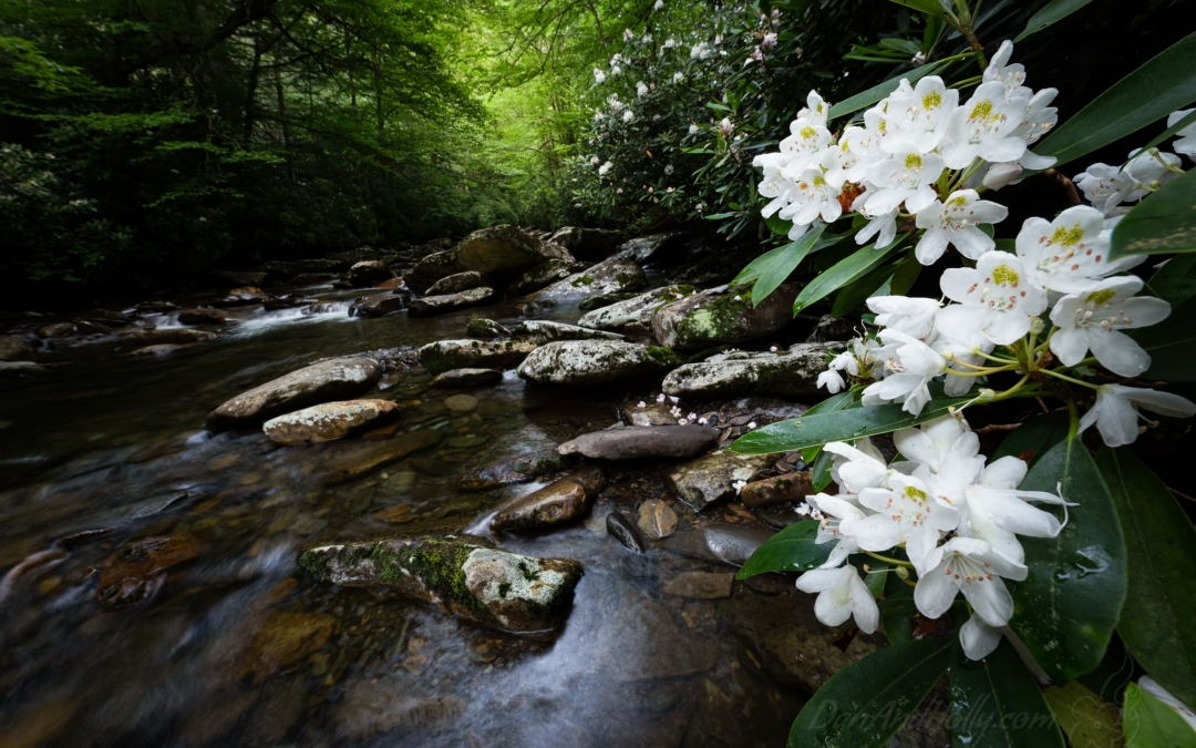 Rhododendron in Bloom By the Stream