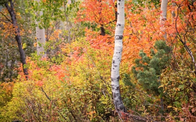 Aspen Trees and Autumn Colors