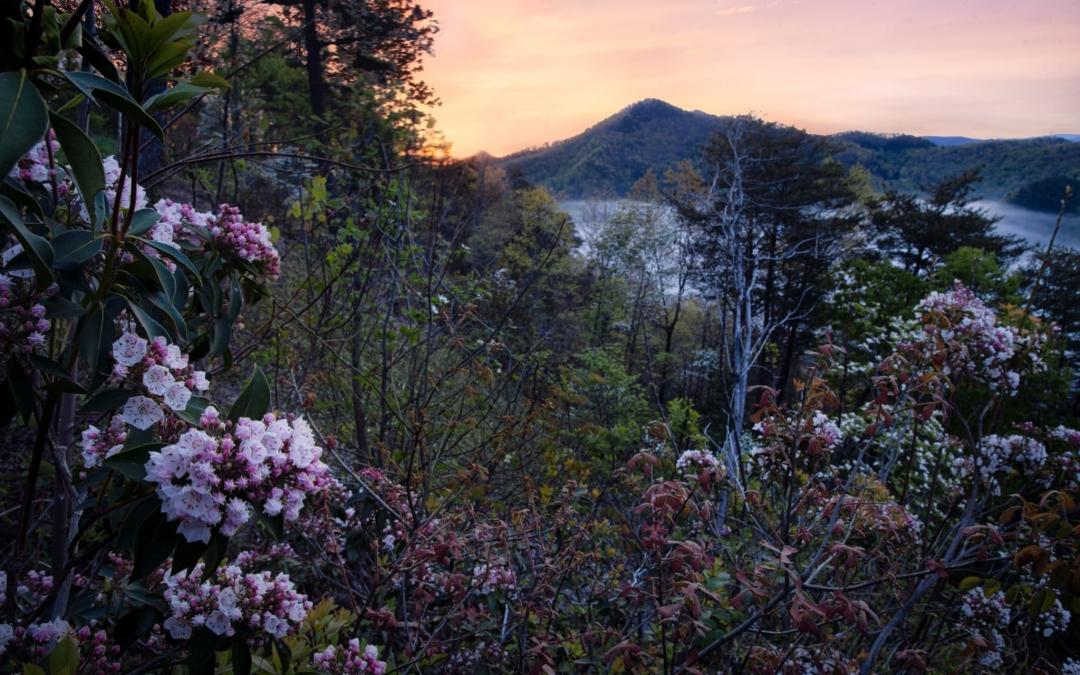 Mountain Laurels at Sunrise