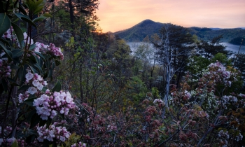 Mountain Laurels at Sunrise