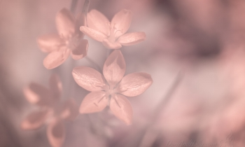 Spring Flowers in Infrared